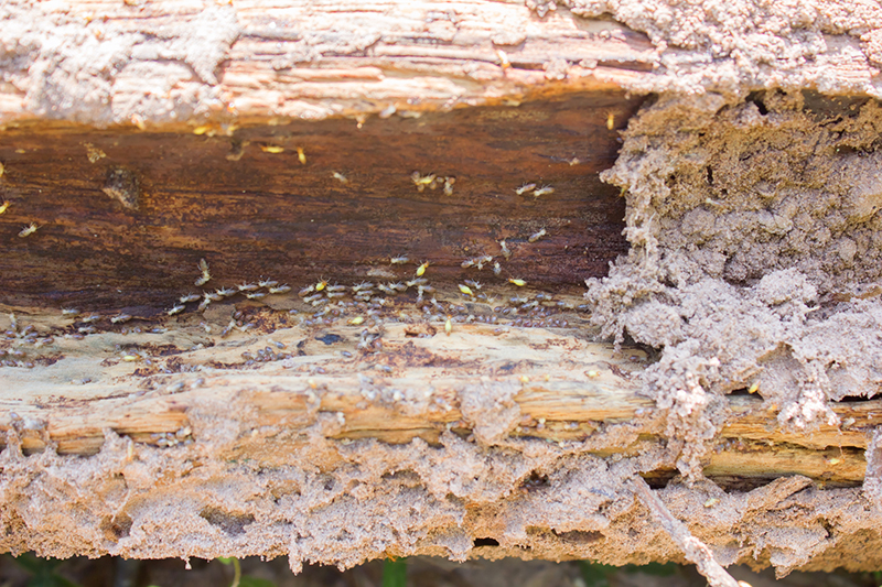 Closeup of wood infested with termites causing damage